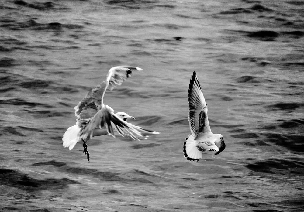 Lakeconstance Seagulls Seagull attack