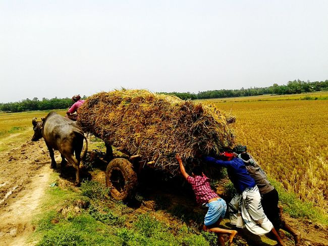 Paddy Fields .. Some people pushing a Cart . Awesome!. Village .. Beautiful Bangladesh ..