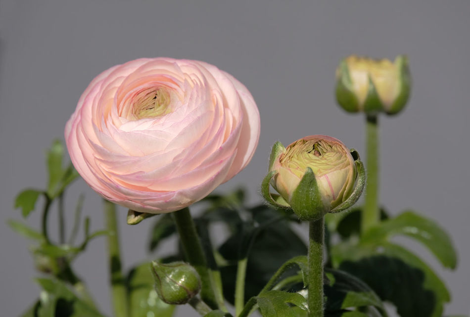 Beauty In Nature Buds Buttercup Close-up Day Flower Flower Head Fragility Freshness Green Color Growth High Resolution Leaf Nature No People Outdoors Petal Pink Buttercup Plant Plant Pod Poppy Seed Spring Flowers Millennial Pink