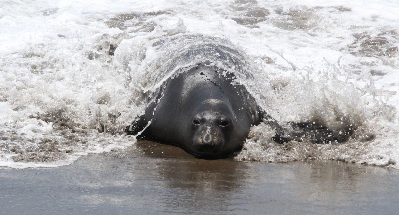 Seal Sub Submerges Beach Beachphotography California Coast Elephant Seals Nature Nature Nature Photography Outdoors Seals Seals On Beach Seals On The Sea Shore Water
