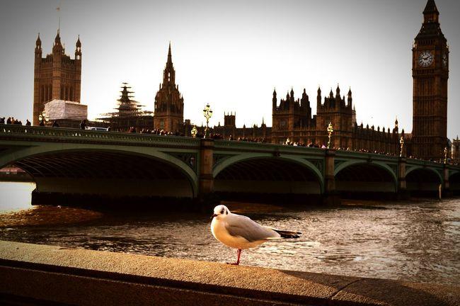 London Lifestyle Parliament Parliament Building Big Ben Bigben Thames Thames River Thamesriver Bird Bird Photography Seagull Seagulls In The City