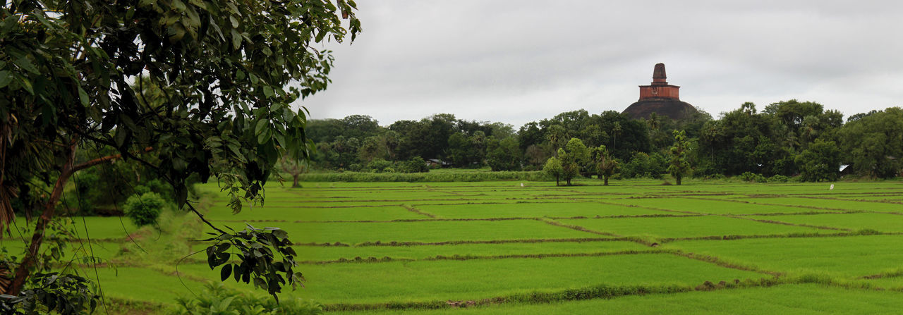 Paddy field under cloudy sky with Jethawanaramaya Dagoba in Anuradhapura in the background on a rainy day Agriculture Anuradhapura Architecture ASIA Cloudy Dagoba Farming Farmland Field Green Color Growth Landscape Lot Monsoon Overcast Paddy Panorama Panoramic Parcel Rice Scenics Stupa Tropical Wet World Heritage