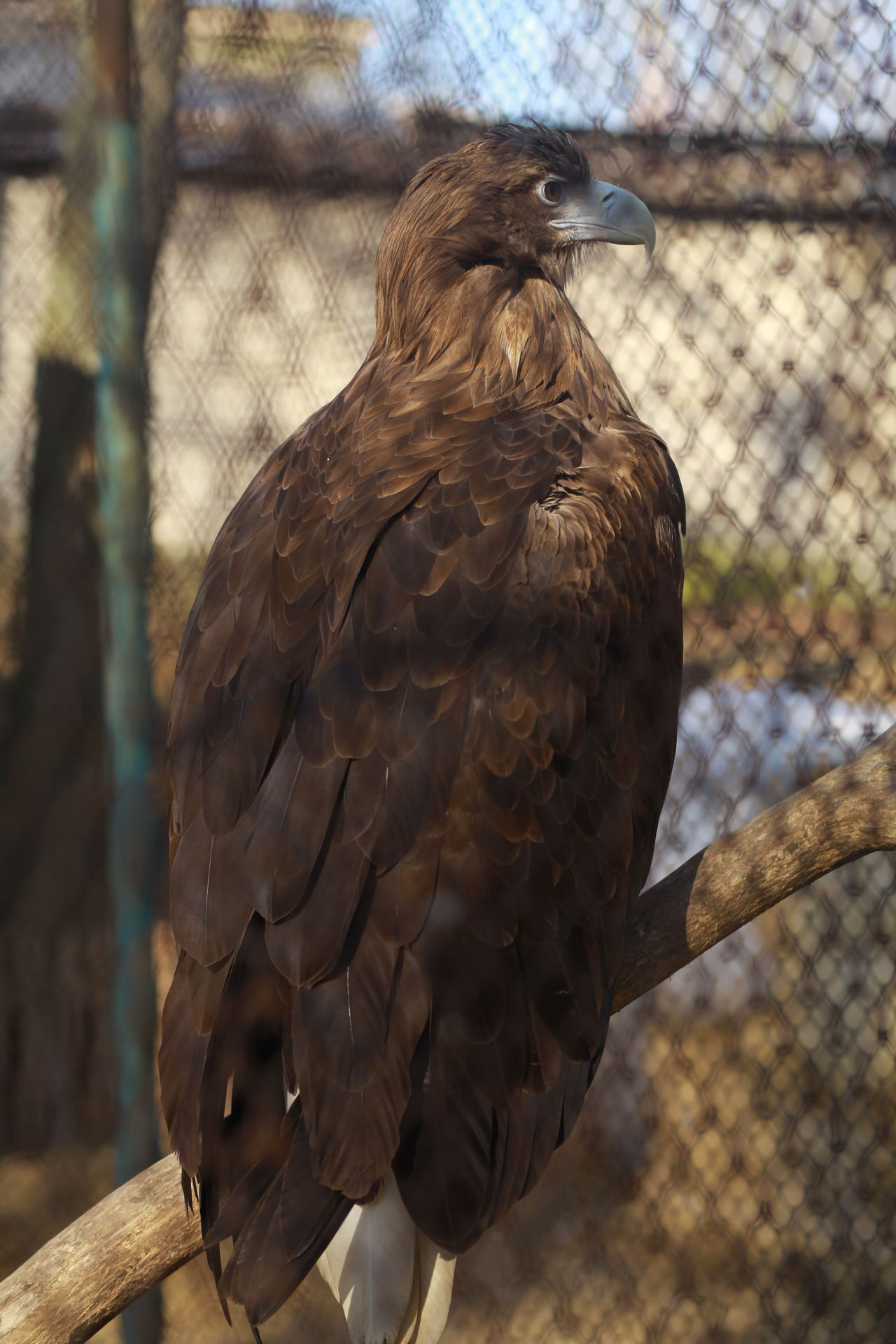 Animal Themes Animal Wildlife Animals In The Wild Bald Eagle Bird Bird Of Prey Close-up Day Eagle Eagle Eagle - Bird Hawk Nature No People One Animal Outdoors Perching