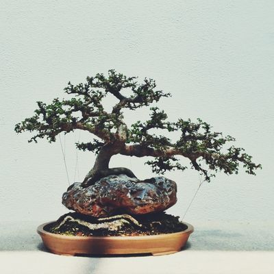 bonsai at Grande serre d'exposition / Main Exhibition Greenhouse by Hind Akhiyat (vistavista)