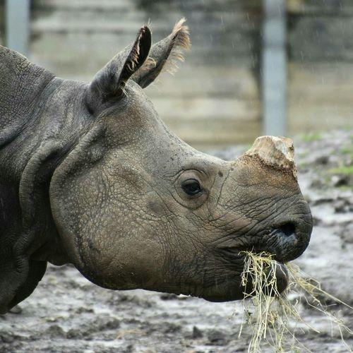 Rino Zoophotography Zoo Hay Eating Rain