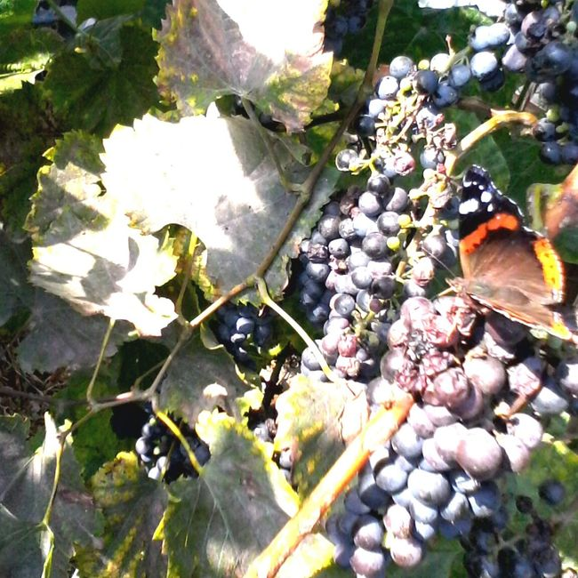 Butterfly Eating Grape's Juice Edited By @wolfzuachis Nature Wolfzuachis Ionitaveronica @wolfzuachis Eyeem Market Showcase: 2016 Showcase: October Plant Leaf Beauty In Nature Butterfly Collection Fruits Grapes Slowfood Colorful Vineyard Butterfly Insect Autumn Butterfly Eating Butterfly - Insect Close-up Multi Colored