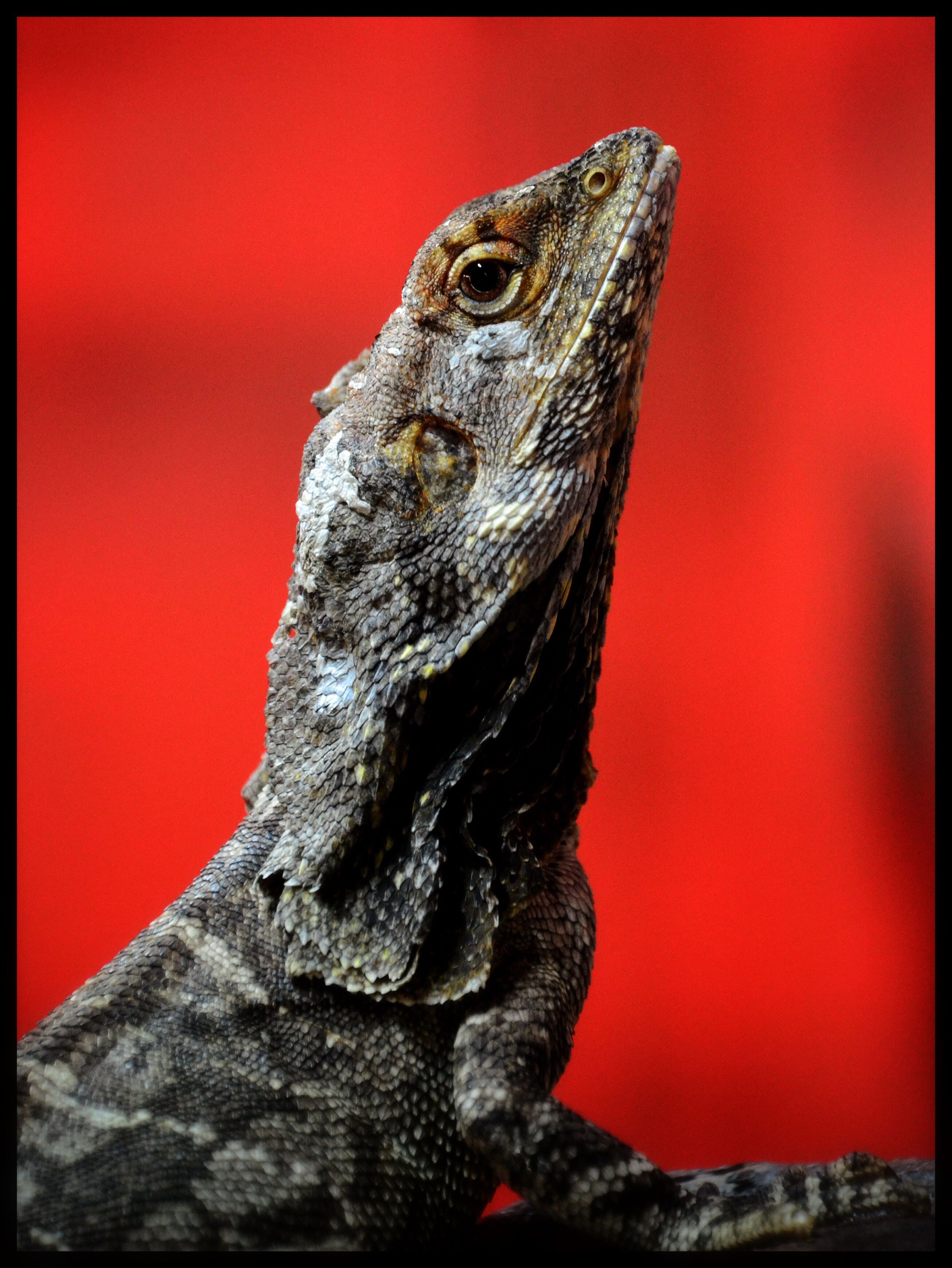 one animal, bearded dragon, animal themes, reptile, lizard, no people, animal wildlife, animals in the wild, close-up, day