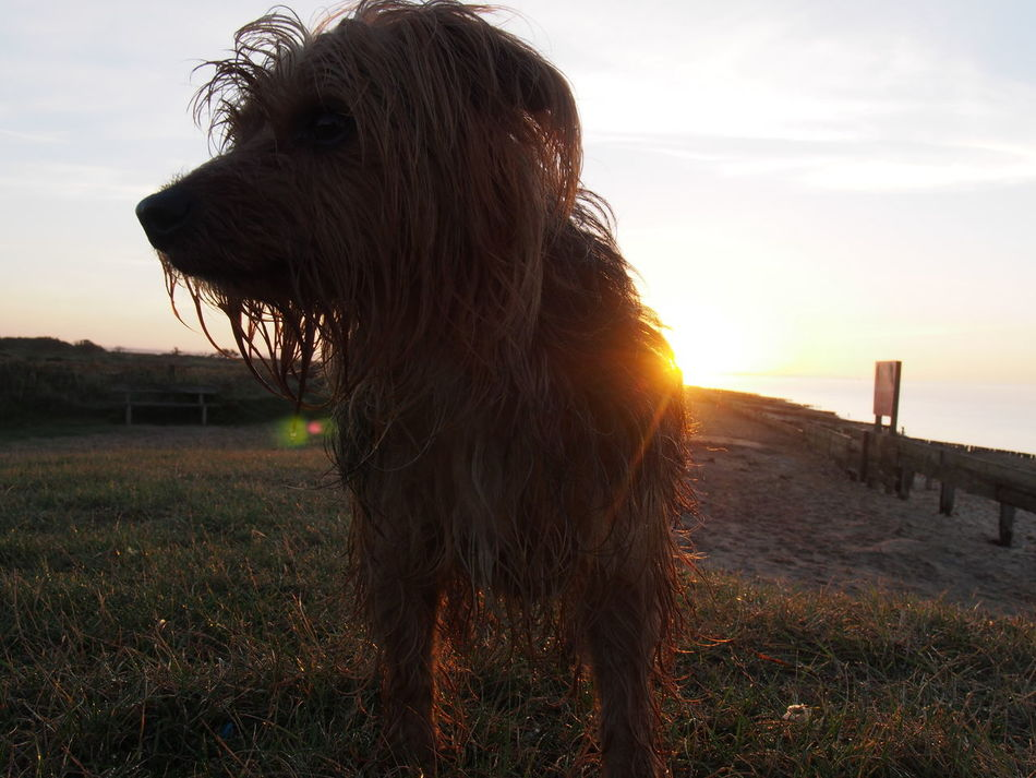 Animal Hair Animal Head  Animal Themes Buster Canine Dog Domestic Animals Domestic Cattle Eating Field Herbivorous Livestock Mammal Nature One Animal Outdoors Pets Sea Sky Standing Sunset Tranquility Water Zoology