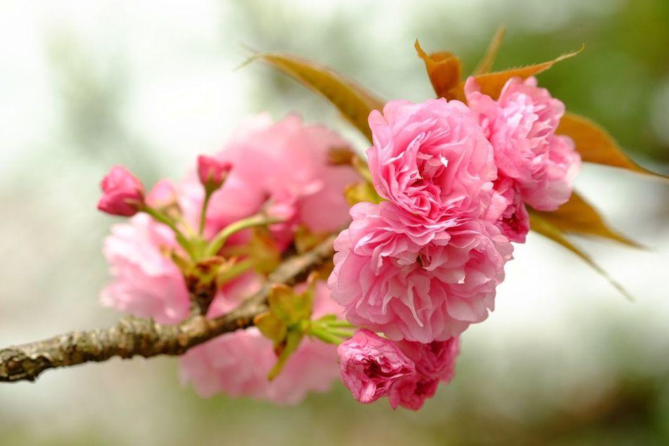 Colors. Kōchi-shi Flower Nature Cherry Blossoms