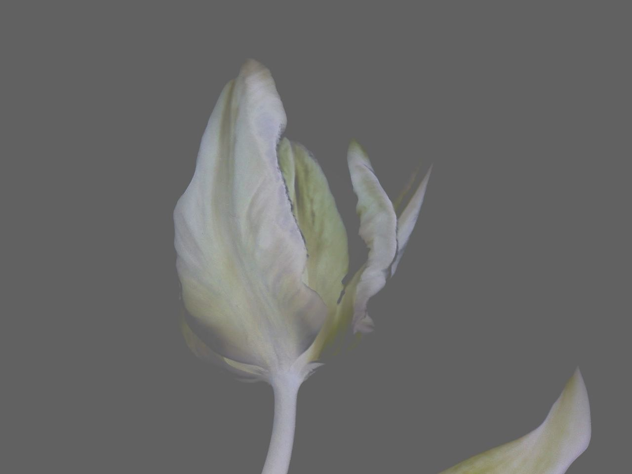 petal, flower, flower head, fragility, freshness, growth, studio shot, beauty in nature, plant, calla lily, close-up, nature, no people, leaf, black background, blooming, food, day, outdoors