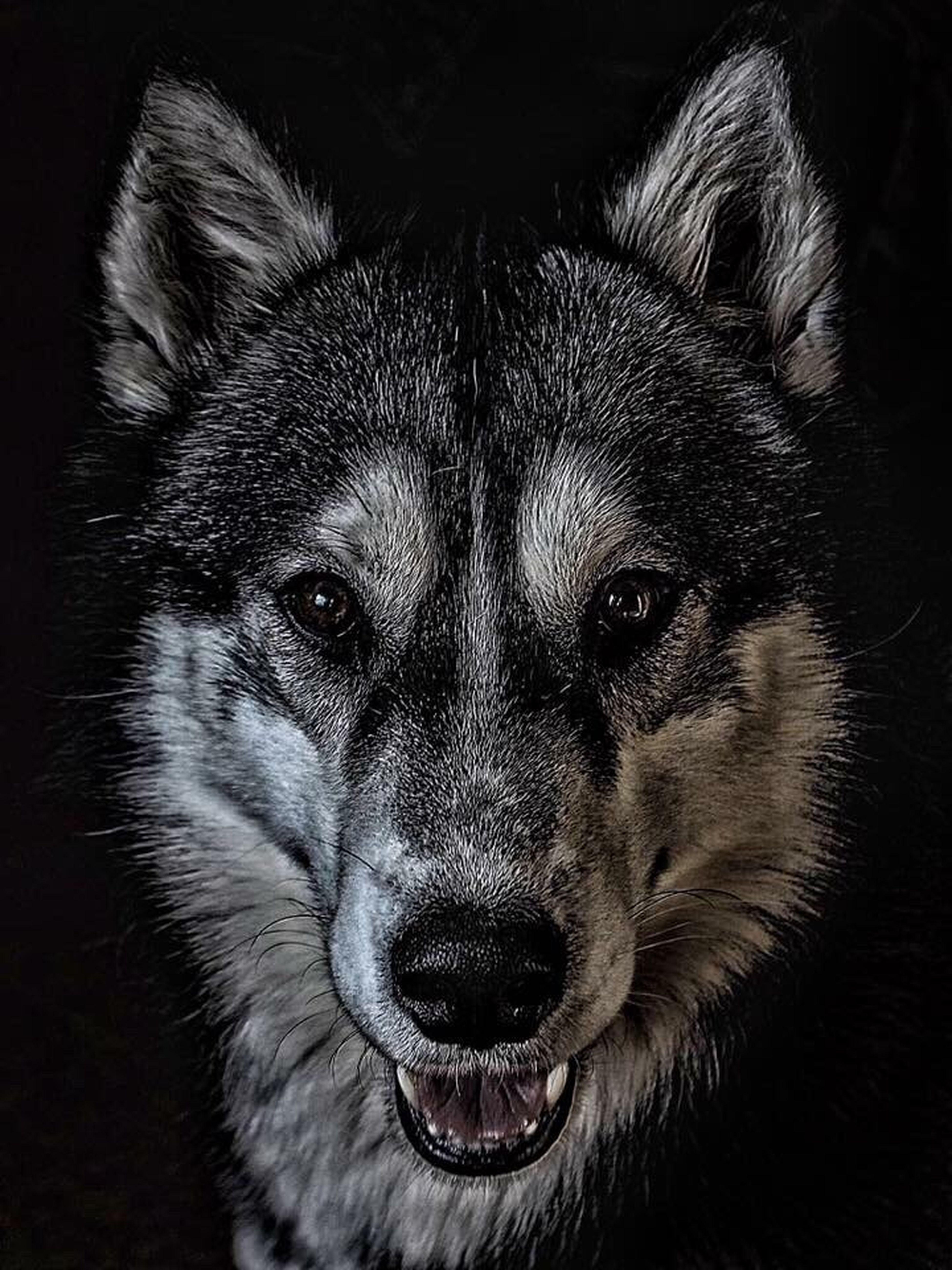 Mein Hauswolf Husky Blackandwhite Dog Animal Themes Looking At Camera One Animal Animal Hair Black Background Animal Head  Close-up Portrait Wolf Pets Love First Eyeem Photo EyeEmNewHere Germany in Bitz EyeEmNewHere