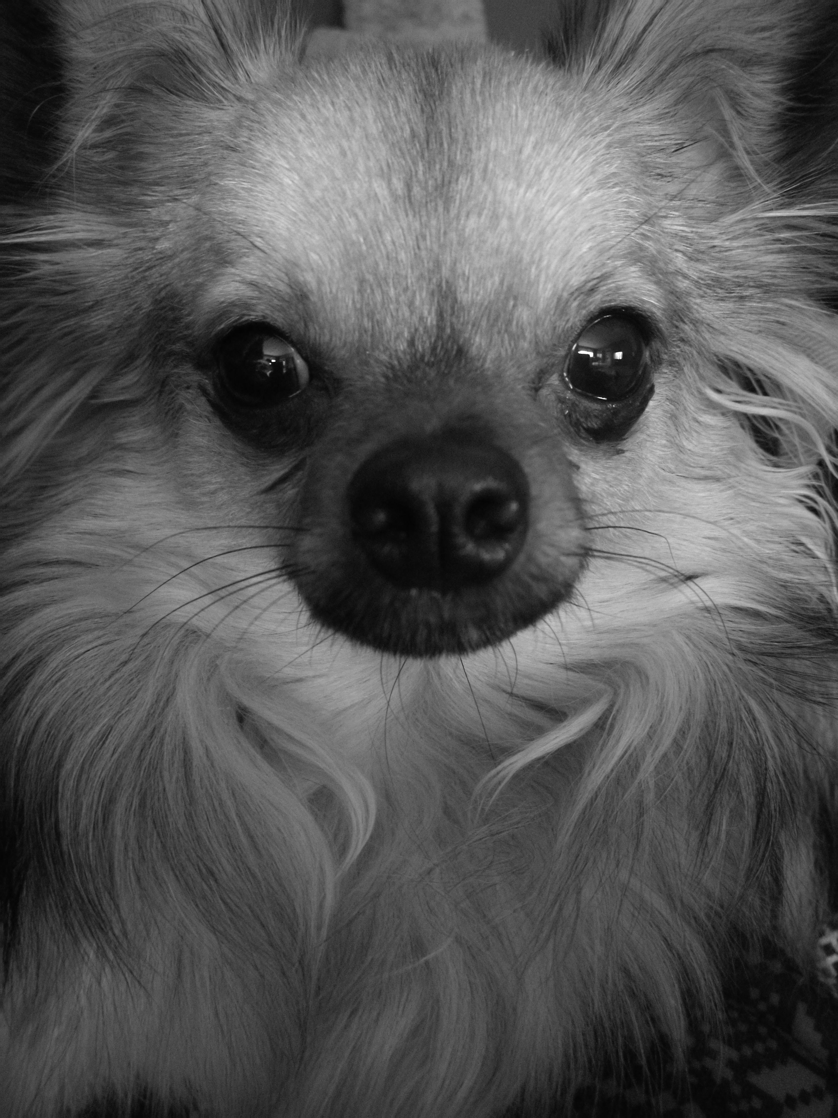 looking at camera, portrait, animal themes, one animal, mammal, domestic animals, close-up, dog, no people, animal eye, pets, indoors, backgrounds, day, pomeranian
