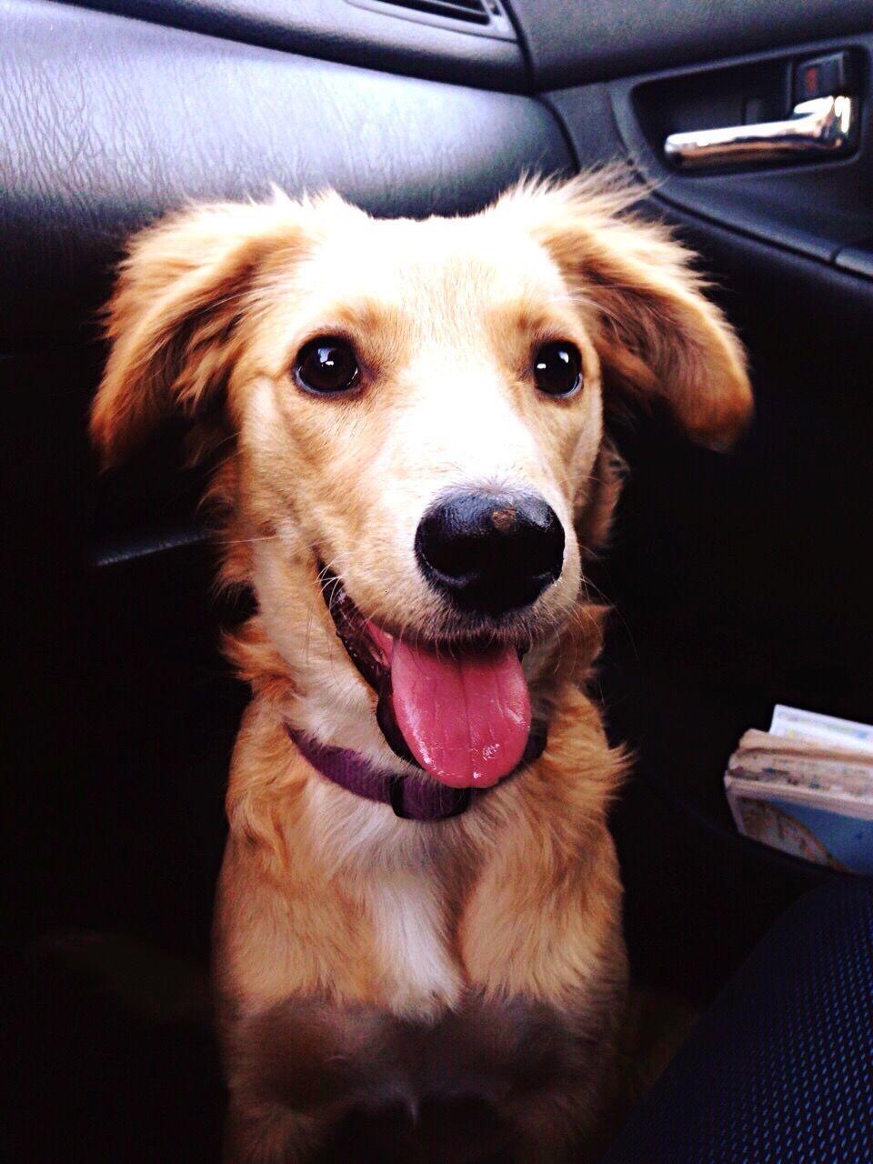 Close-Up Of Cute Dog Sitting In Car