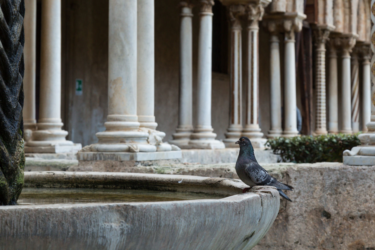 pigeon at a birdbath in the cloister of Monreale 12th Century Ancient Architectural Column Architecture Bird Birdbath Built Structure Cloister Colonnade Day Europe History Italy Monreale No People Old Ruin Palermo Pigeon Sicily Travel Travel Destinations