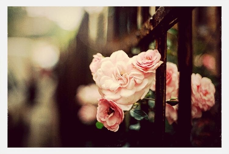 """""""I'm in a roller coaster that only goes up, my friend."""" -John Green, The Fault In Our Stars. EyeEm Nature Lover Pink Roses TFioS"""