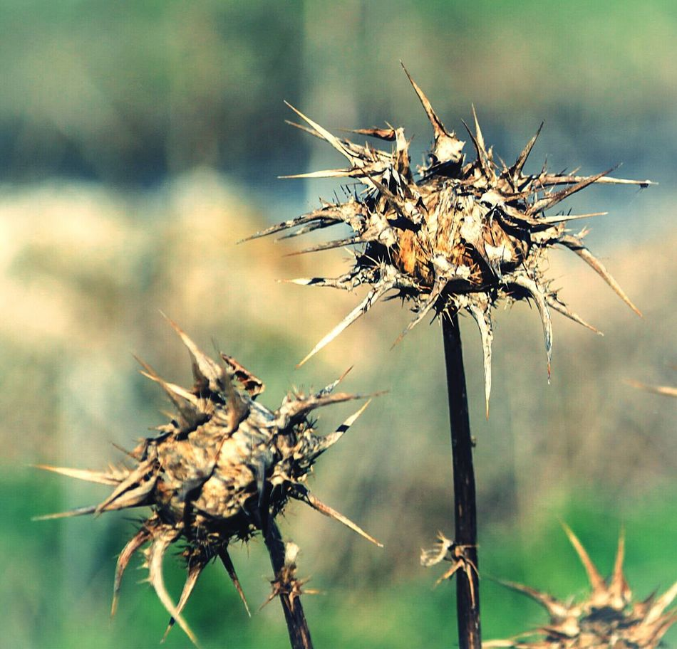 Nature Outdoors Close-up Wilted Plant Beauty In Nature Plant Day No People Dried Plant Cardo Thistle Thistle Art Still Life StillLifePhotography EyeEm Gallery Check This Out