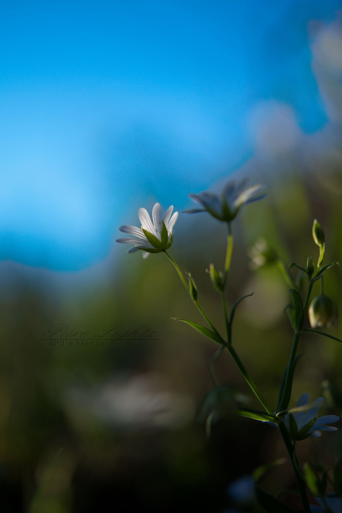 Close-up Flower Flower Head Fragility Golden Hour Growth Macro Photography Nature Outdoors Plant Selective Focus White Flower