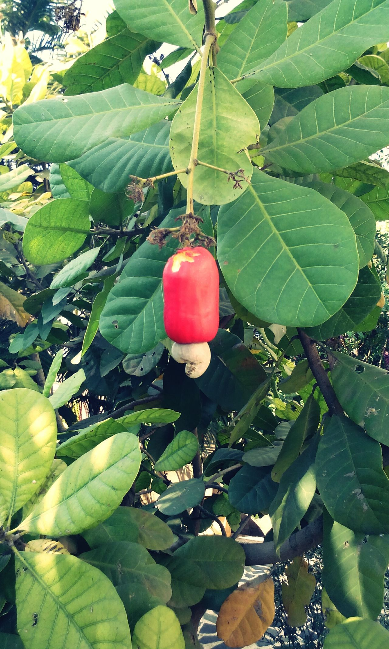 Cashew Cashewnut Cashew Tree Cashewnuts Cashew Fruit Summertime Birds Tree Fruit Redfruits Garden Photography Garden Fruits