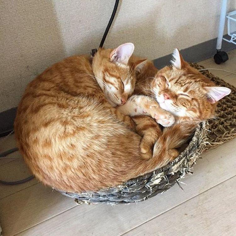 Cat Neko ねこ 猫 ねこ Cats スコティッシュフォールド Scottishfold 茶トラ ロロ Lolo コケティッシュフォールド コケティッシュホールド かご猫 ピオが大きくなったからロロが埋もれてるよ…😆😸💦
