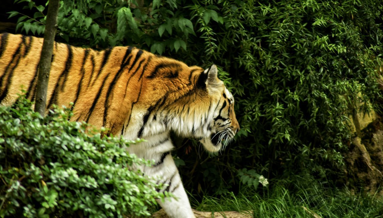 one animal, tiger, animals in the wild, animal themes, nature, animal wildlife, plant, outdoors, day, no people, mammal, white tiger, tree, close-up