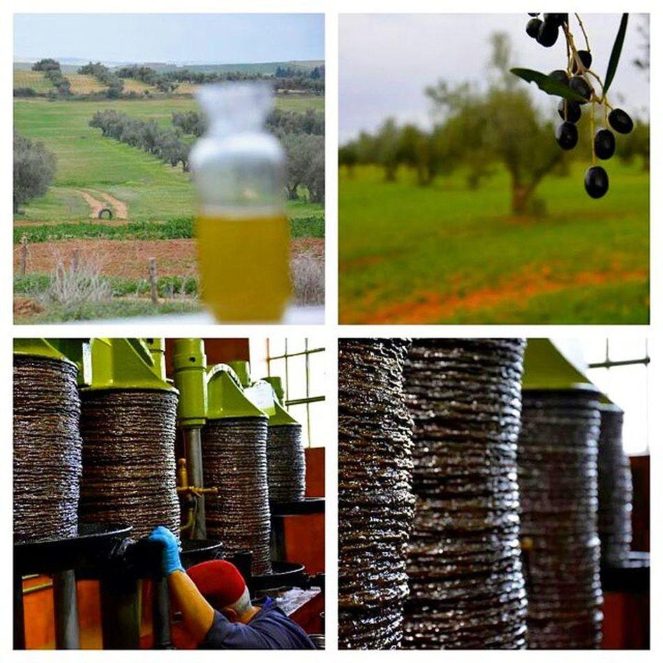 Olive Oil Olive_oil Tunisia IgersTunisia Igertunisia Tunisia the second olive oil producer after the entire Eu تونس الثانية عالميا بعد الإتحاد الأوروبي كله في إنتاج زيت الزيتون :) هذا حدث يحتفل به :)