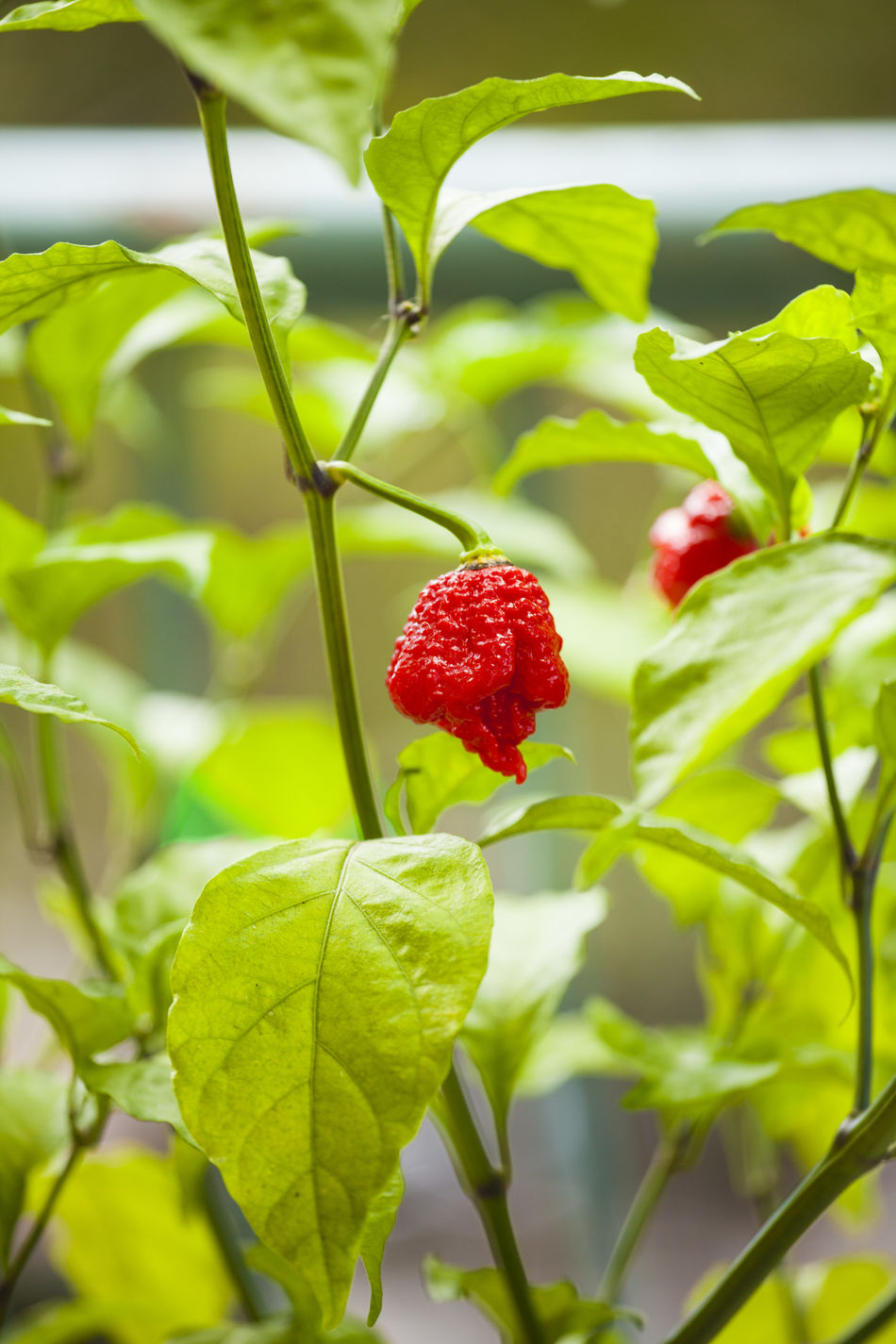 Agriculture Beauty In Nature Carolina Reaper Close-up Day Freshness Fruit Green Color Growth Healthy Eating Hot Pepper Hot Peppers Plants Leaf Nature No People Outdoors Plant Red Tree
