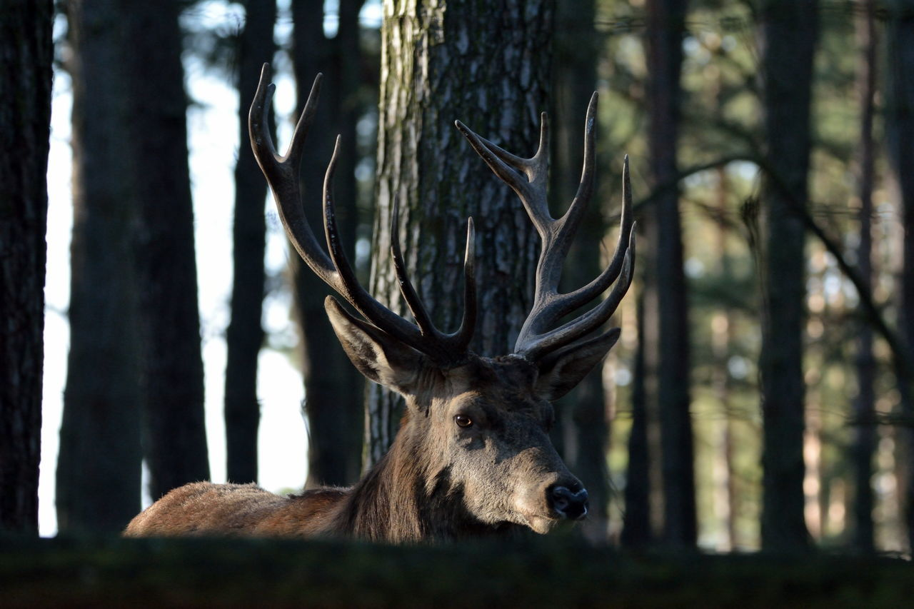 Close-Up Of Deer In Forest