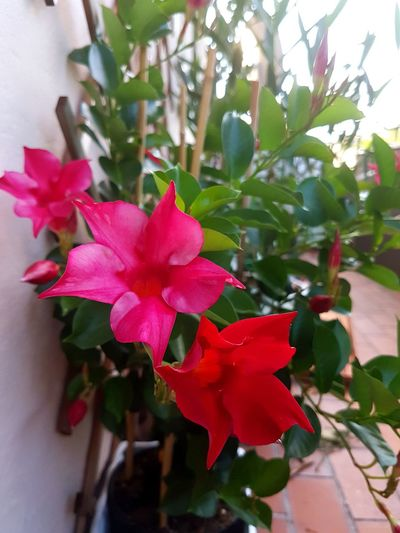Flower Petal Red Close-up Fragility Outdoors Flower Head Freshness Leaf No People Beauty In Nature Growth Nature Plant Pink Color Day Dipladenia