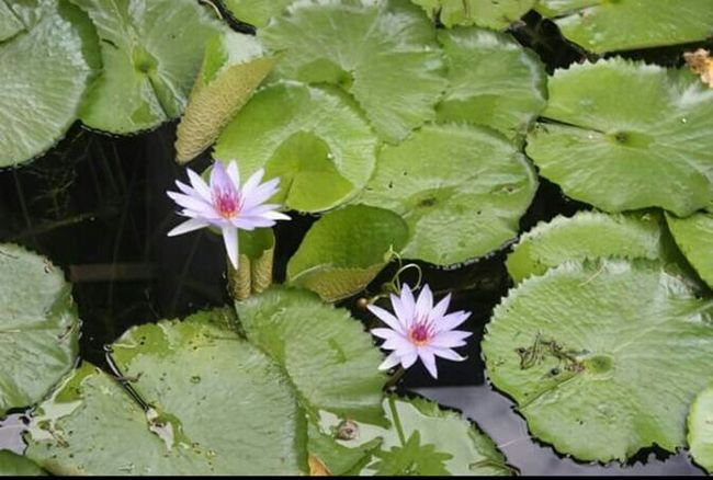 Water lily flowers Water Lillies Pink Flower Black Water Water_collection Flowers In The Water Outdoor Photography In Full Bloom In A Koi Pond