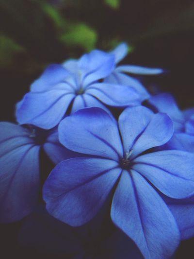 this would take my stress away Duranta Blueviolets Garden Flowers Macro Photography Magnifying Glass EyeEm Nature Lover EyeEm Macro Flower Collection Flower Lovers EyeEm Flower Mobile Photography Purple Love