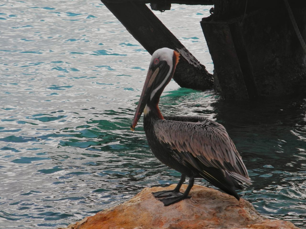 Animal Wildlife Animal Themes Bird Water One Animal Wink Animals In The Wild Sea Pelican Beach Outdoors No People Nature Snbcuracao (c) 2016 Shangita Bose All Rights Reserved From My Point Of View Curacao Travel Destinations Pensive Lonesome Animals In The Wild Beauty In Nature Horizon Over Water