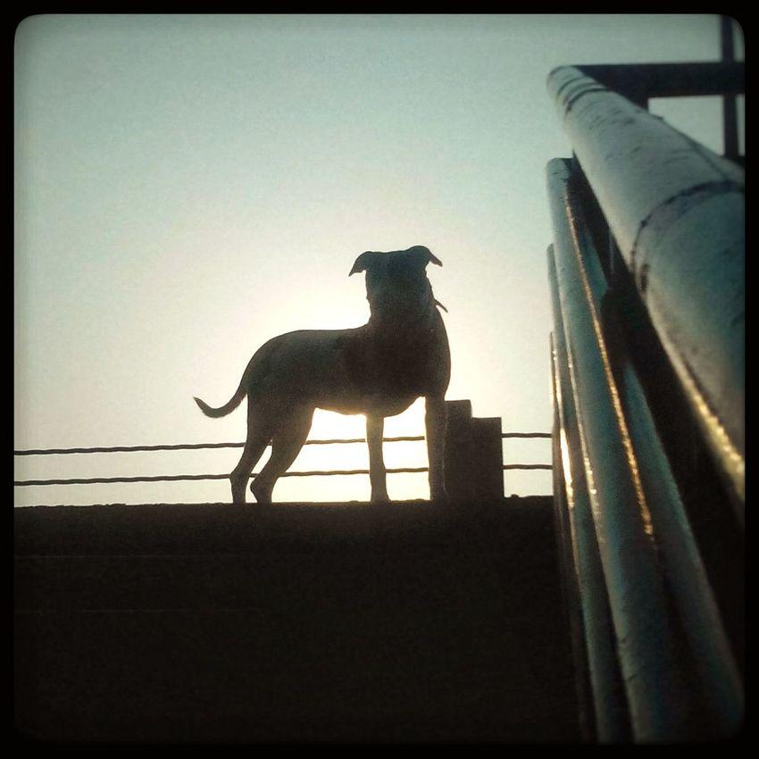 Bakirkoycoast J-lo Babawest34 Summer ☀ 7:15am Good Morning Pitbull Amstaff Brindle Dog