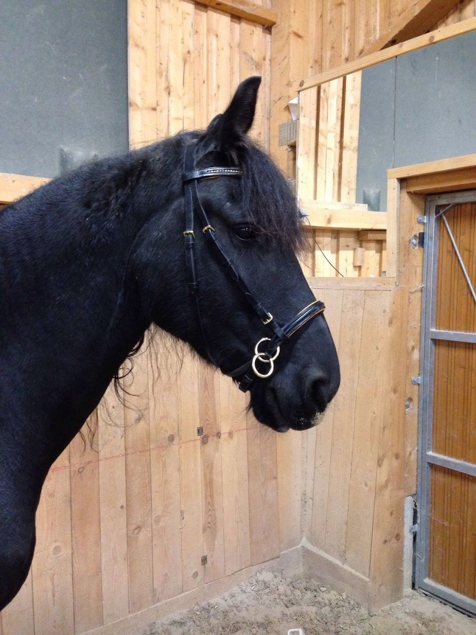Lilli💝 Bitless Bridle Horse Domestic Animals Indoors  I Love Horses IPhoneography Horses Friesen Black Horse I Love My Horse One Animal Built Structure Black Color No People Herbivorous Mammal Stable Working Animal Livestock Architecture Day Outdoors Close-up