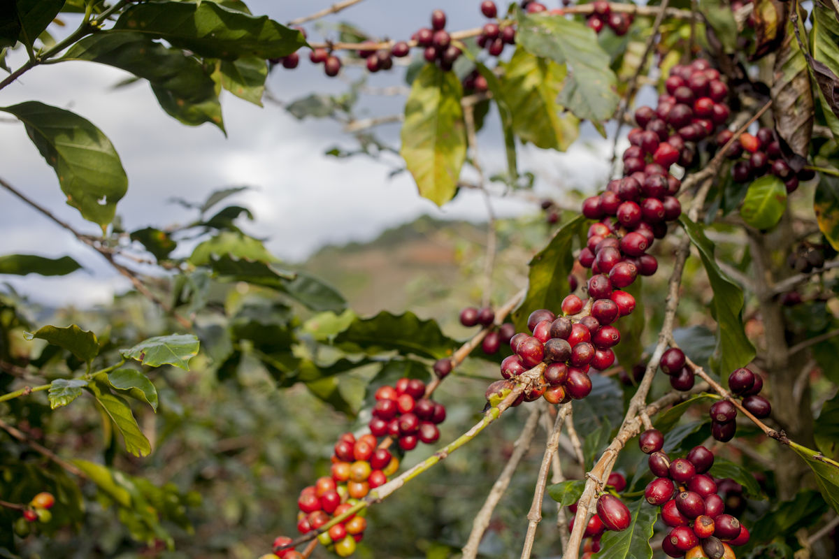Coffee cherries Branch Coffee Coffee Beans Coffee Cherries Coffee Farm Coffee Plantation Coffee Tree Farm Fruit Growth Mountain Nature Plants And Flowers Red Vietnam