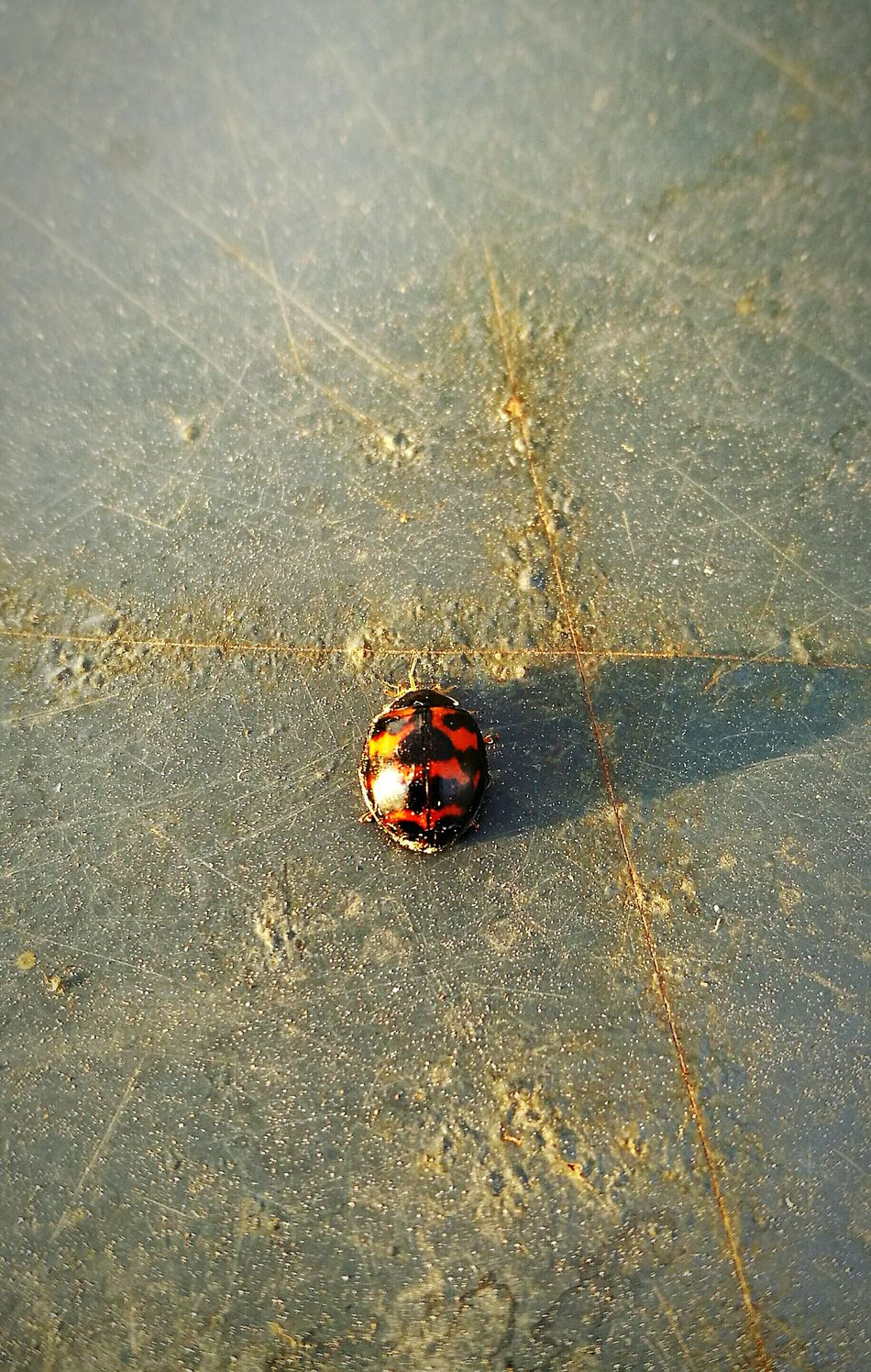 No People Close-up Animal Themes Nature Insect Insect Photography Ladybug🐞 Ladybug Ladybeetle Nature Insects  Insect Photo Ladybugs Huawei P9 Leica Huaweiphotography HuaweiP9Photography HuaweiP9