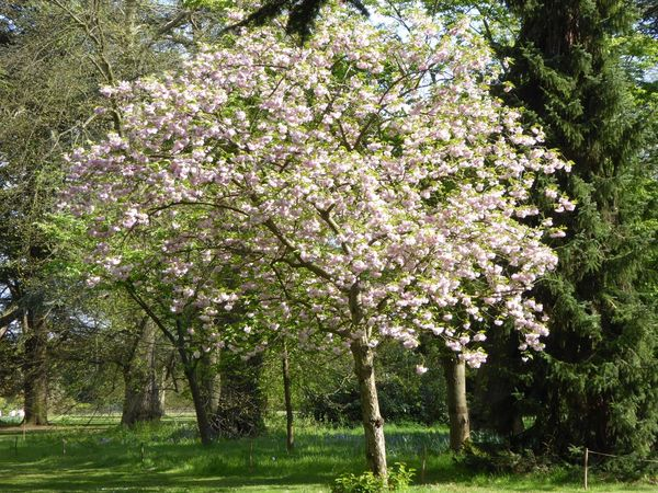 Trees Blossom Blossom Tree Pink Tree Green Pink Flower Pink And Green Flower Flowers Pink Blossoms Pink Blossom Pink Blooms Pink Blossom Tree London Tranquility Tranquil Scene Tranquil Nature Perfect Nature Beautiful Scene Beautiful Scenery Nature_collection Nature Photography Beautiful Nature