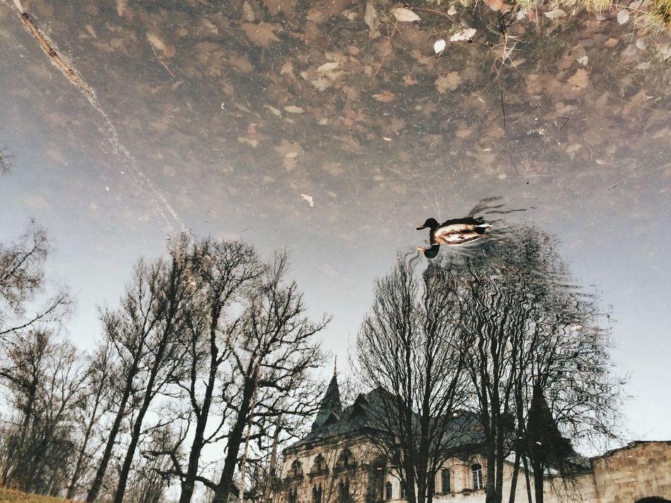 утка отражение отражение в воде озеро облака Природа
