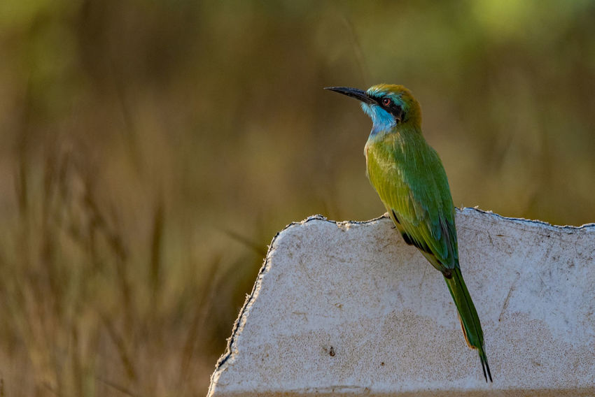 Green Bee-eater in fading light Bird Animal Wildlife Animals In The Wild Animal Themes One Animal Nature Perching Feather  Outdoors Beak No People Day Close-up Beauty In Nature Birds🐦⛅ Bird Photos Beak Feather  Beauty In Nature Portrait