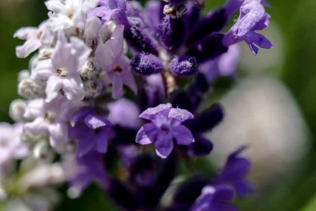 Beauty In Nature Blooming Blossom Blue Botany Close-up Day Flower Flower Head Focus On Foreground Fragility Freshness Growth In Bloom Lavender Nature No People Outdoors Petal Plant Pollen Purple Selective Focus Softness Stamen