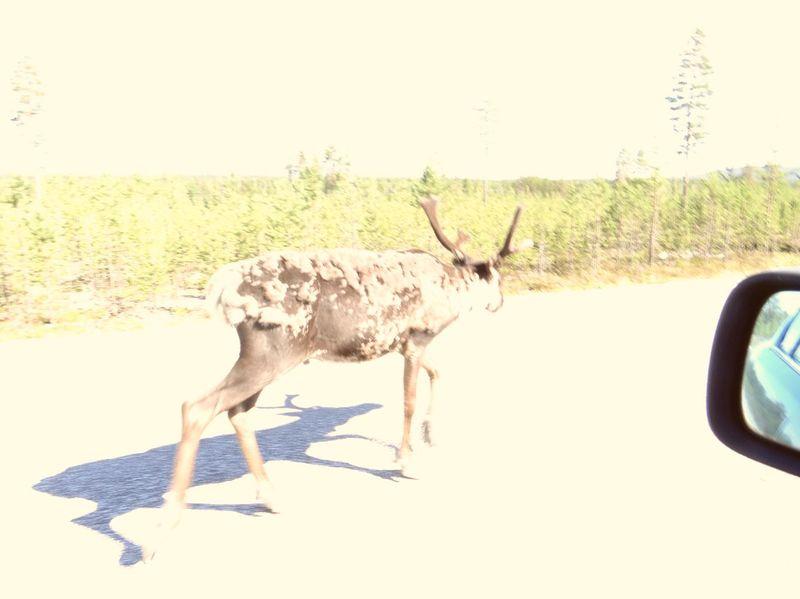 E10 Taking Photos Hi! Reindeer Sighting