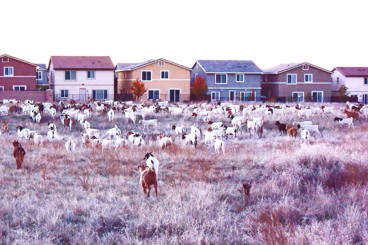 Goats Roseville, CA California Suburbia Suburban Farm Livestock
