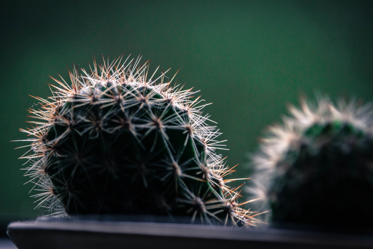 thorn, spiked, cactus, close-up, growth, no people, nature, plant, green color, indoors, day, beauty in nature