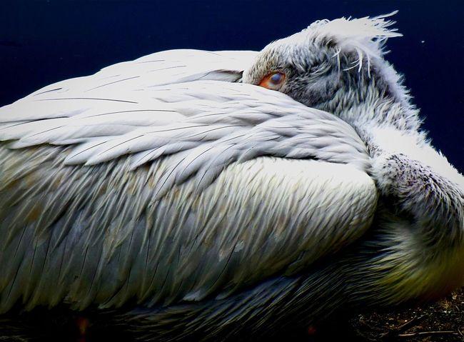 Sleeping Bird Bird Animal_collection Bird Bird Photography Natural Beauty Pelican Pelican Birds Sleeping Pelican White Bird