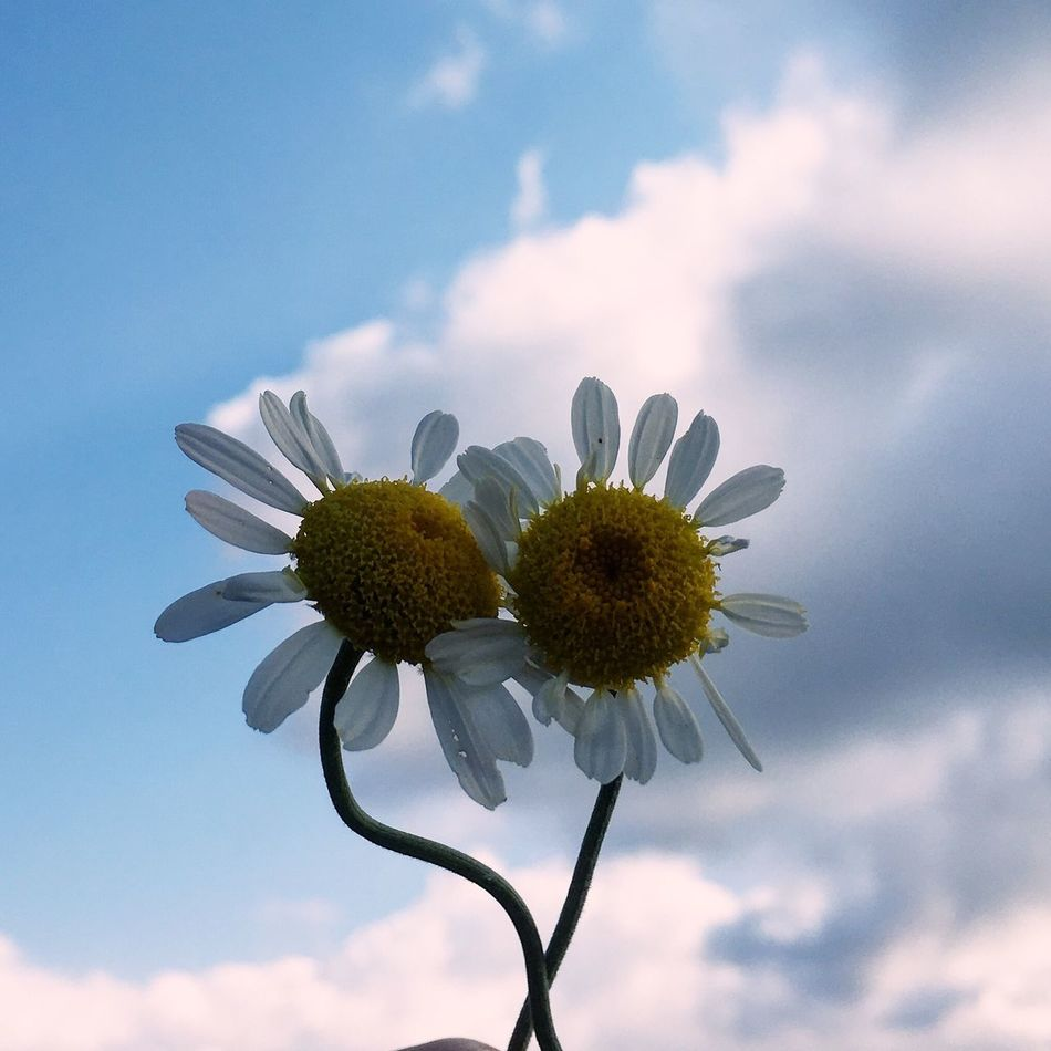 Flower Sky Nature Beauty In Nature Fragility Low Angle View Growth Flower Head Petal Freshness Cloud - Sky No People Blooming Yellow Outdoors Pollen Day Close-up