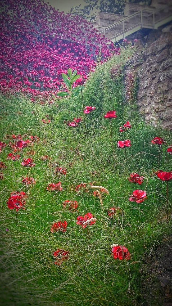 Colour Of Life Color Of Life Poppies  Remembrance 11.11.11 The Wave Lincoln Castle War And Peace Poppy Colour Bright Remeberance Day Home Of The Tank Ww1 Ww2 The Fallen