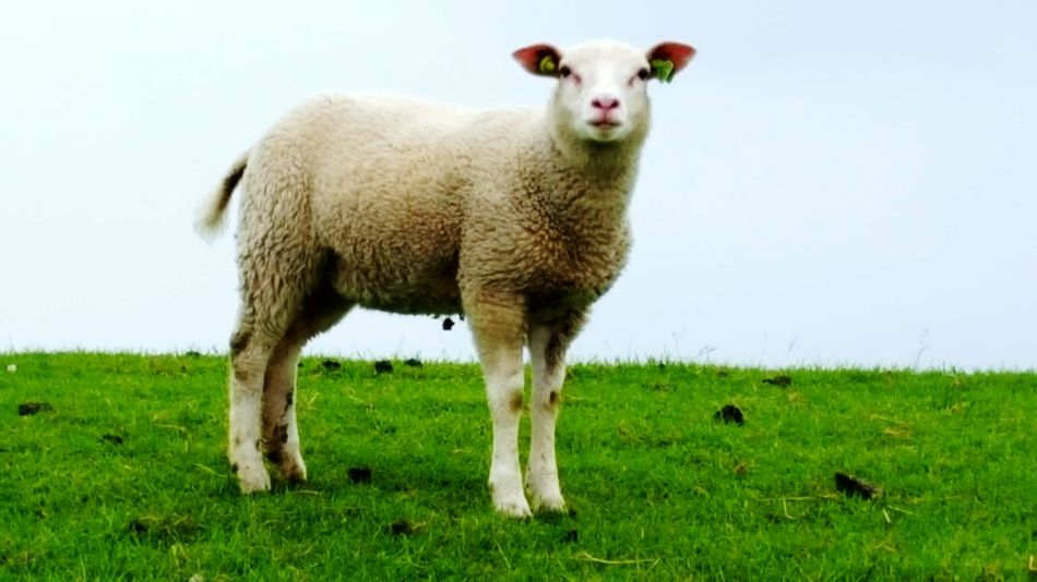 Dutch Sheep Sheep🐑 Sheeps. Sheepworld Schaap Schapen