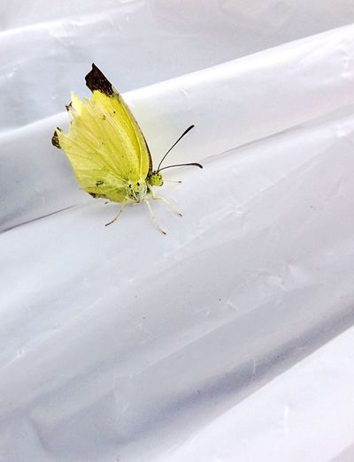 Just Landed on my carry bag & Blessed my day Butterfly Wildlife Yellow Butterfly - Insect Insect Animal Themes Animal Wildlife Animal Antenna Nature Check This Out Ravi Ahlawat Pics