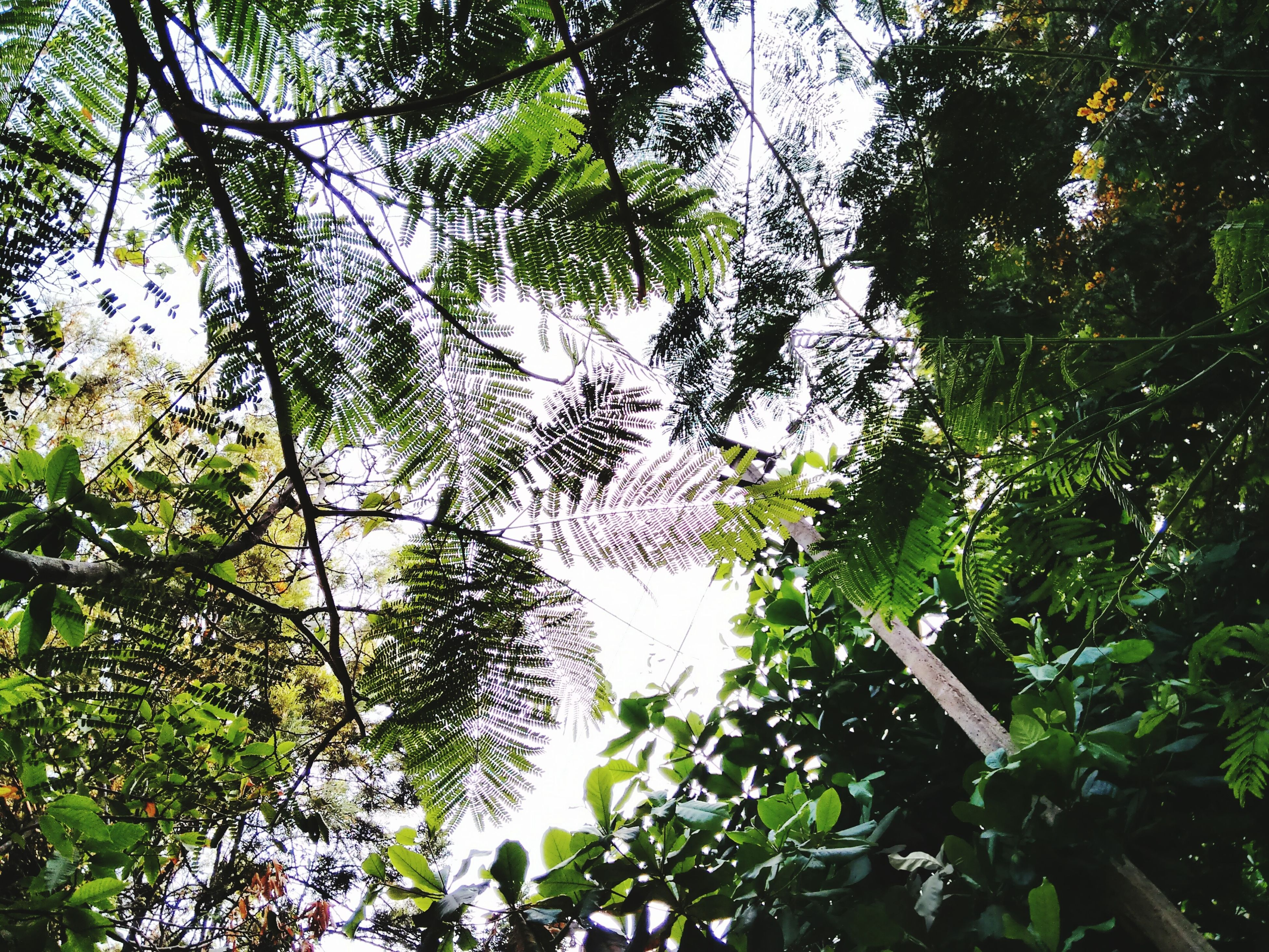 tree, low angle view, growth, branch, nature, tranquility, green color, forest, beauty in nature, leaf, lush foliage, day, tree trunk, outdoors, no people, sky, scenics, tranquil scene, green, tall - high