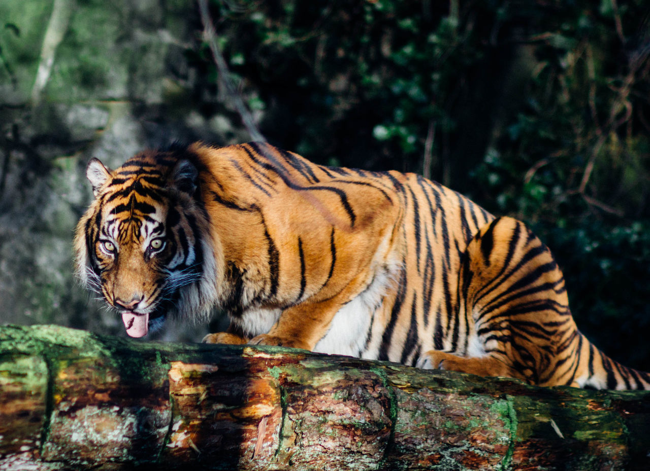 Beautiful stock photos of kunst, Animal Themes, Animal Wildlife, Animals In The Wild, Big Cat