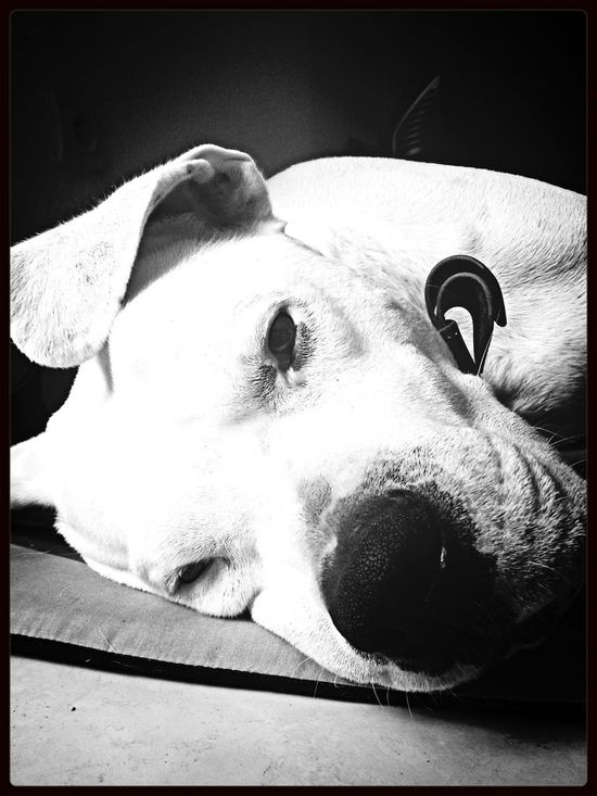 Animals Dog Dogo Argentino IPhone